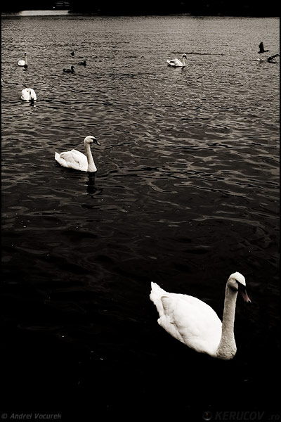 Fotografia Lebede pe Vltava / Swans On The Vltava, album Lumea necuvantatoarelor / The World of Silent Creatures, Praga / Prague / Praha, Cehia / Czech Republic, KERUCOV .ro © 1997 - 2018 || Andrei Vocurek